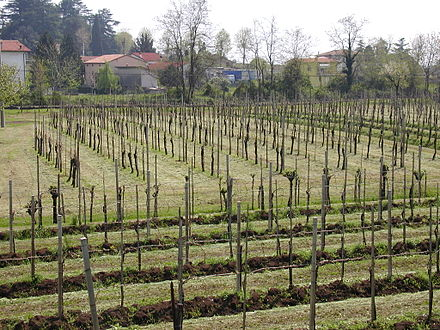 Vineyards in Veneto