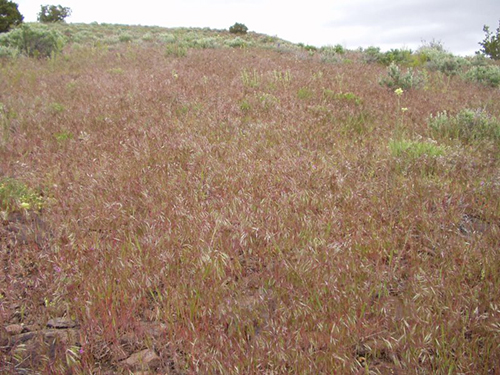 In the springtime, cheatgrass such as this turns a wine red color which gives the landscape of Red Mountain its name. Image: Wikipedia